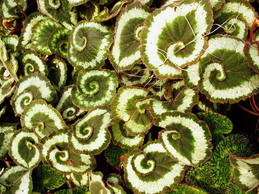 Spiral Begonia