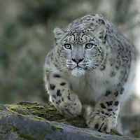 snowleopardn't