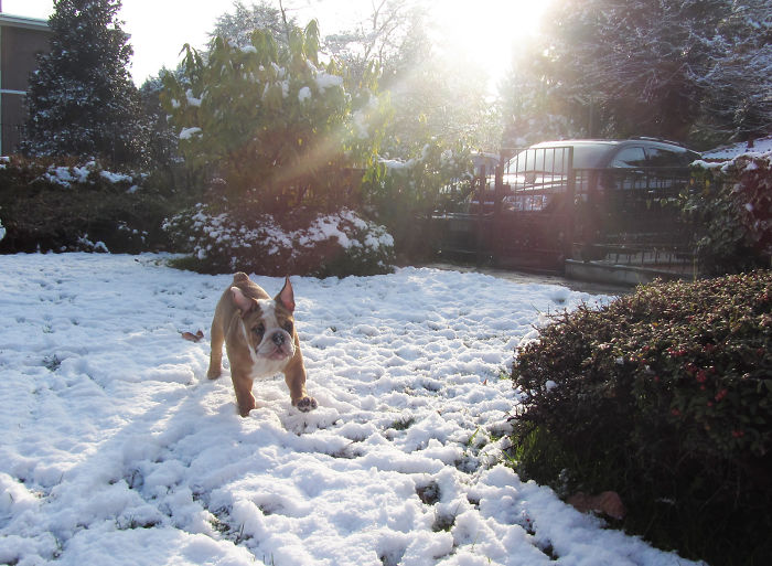 This English Bulldog Runs Into The Snow For The First Time