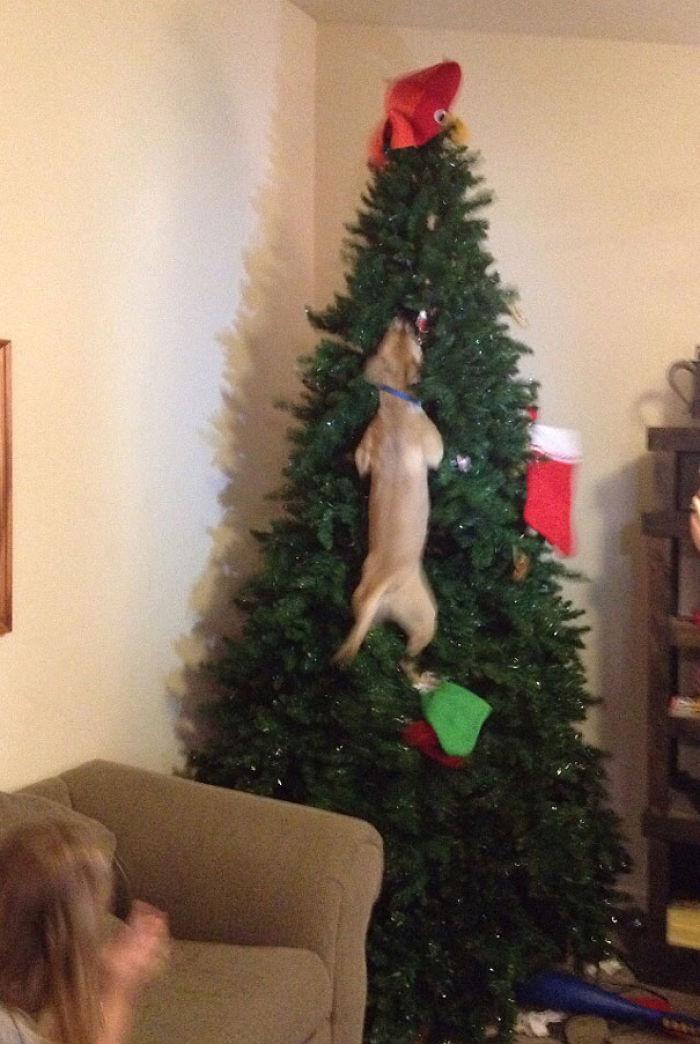 Hund springt der Katze hinterher... in den Weihnachtsbaum