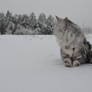 Zara's First Snow (norwegian Forest Cat)