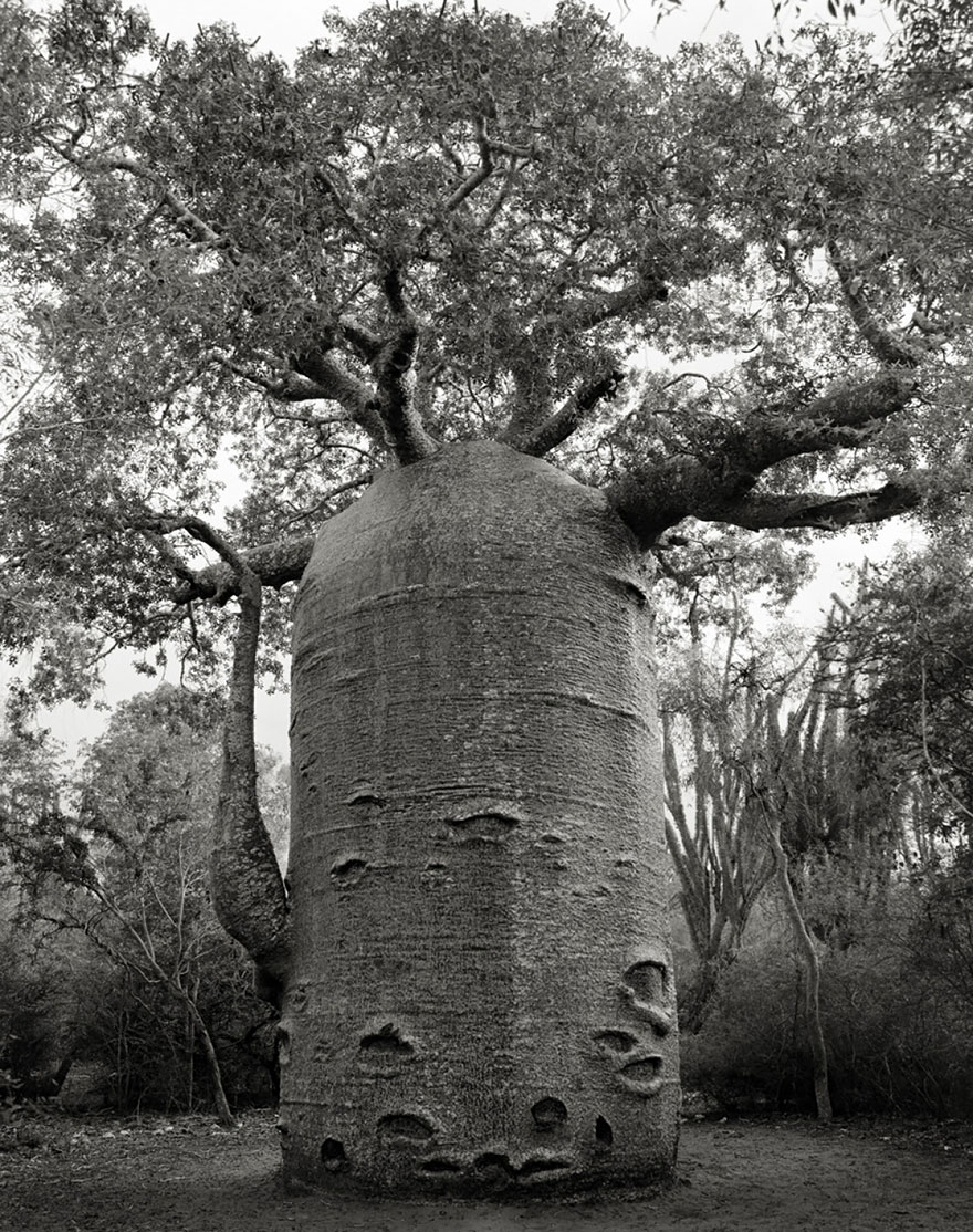 In tribute to the Oak Ancient-trees-beth-moon-11