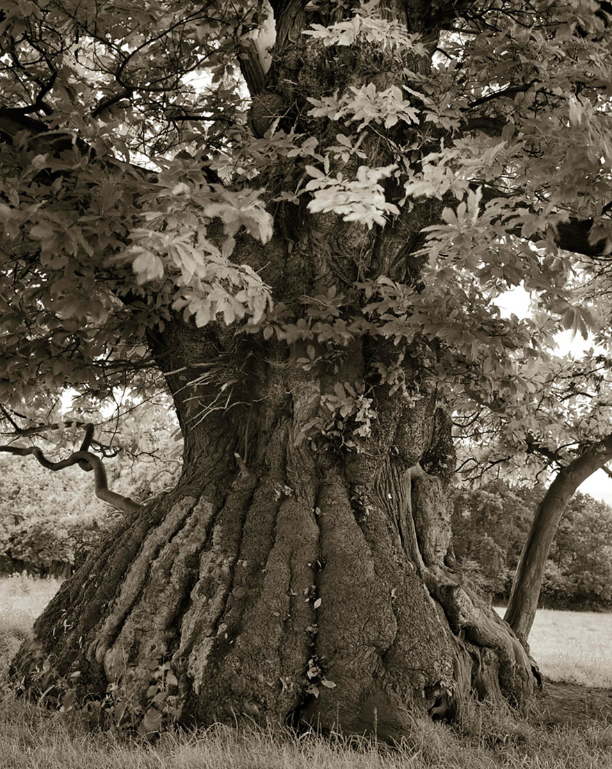 In tribute to the Oak Ancient-trees-beth-moon-12