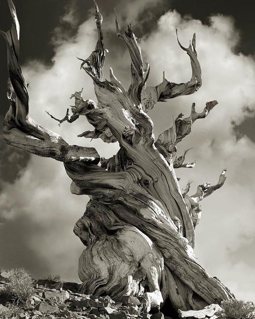ancient trees woman spends 14 years photographing world u0027s oldest