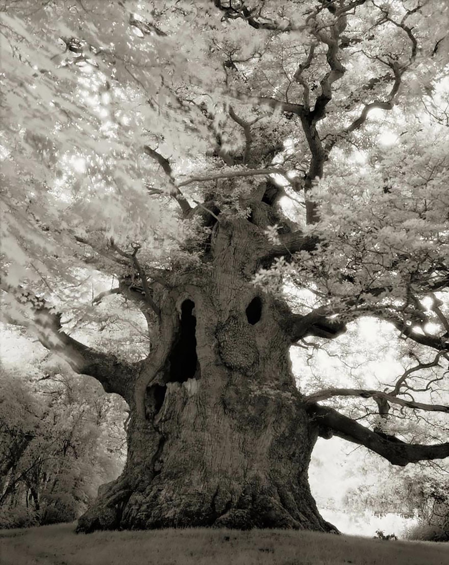 In tribute to the Oak Ancient-trees-beth-moon-16