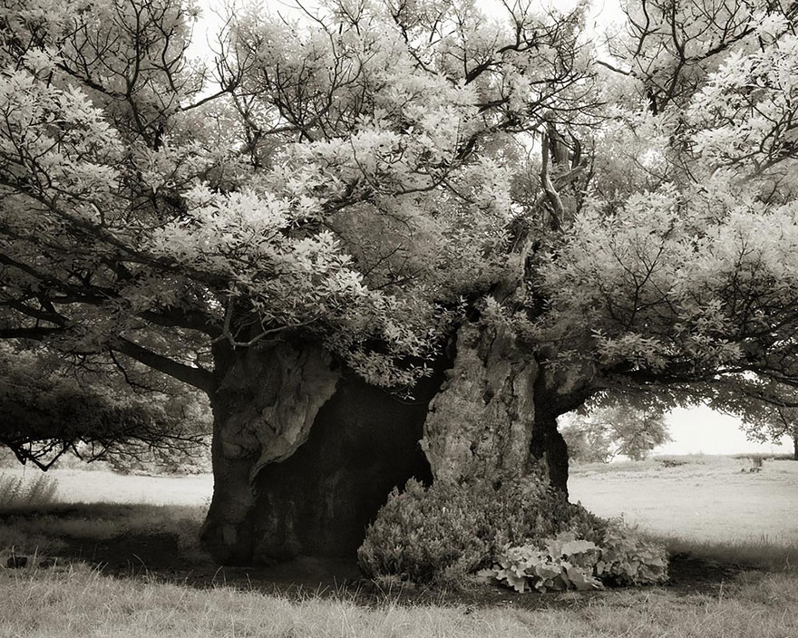 In tribute to the Oak Ancient-trees-beth-moon-19