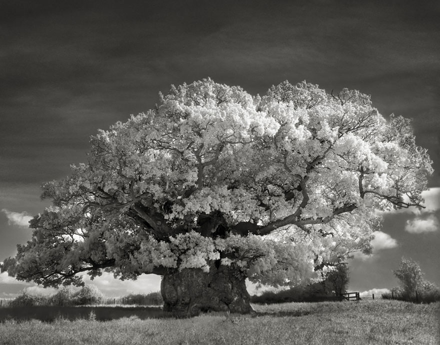 In tribute to the Oak Ancient-trees-beth-moon-2