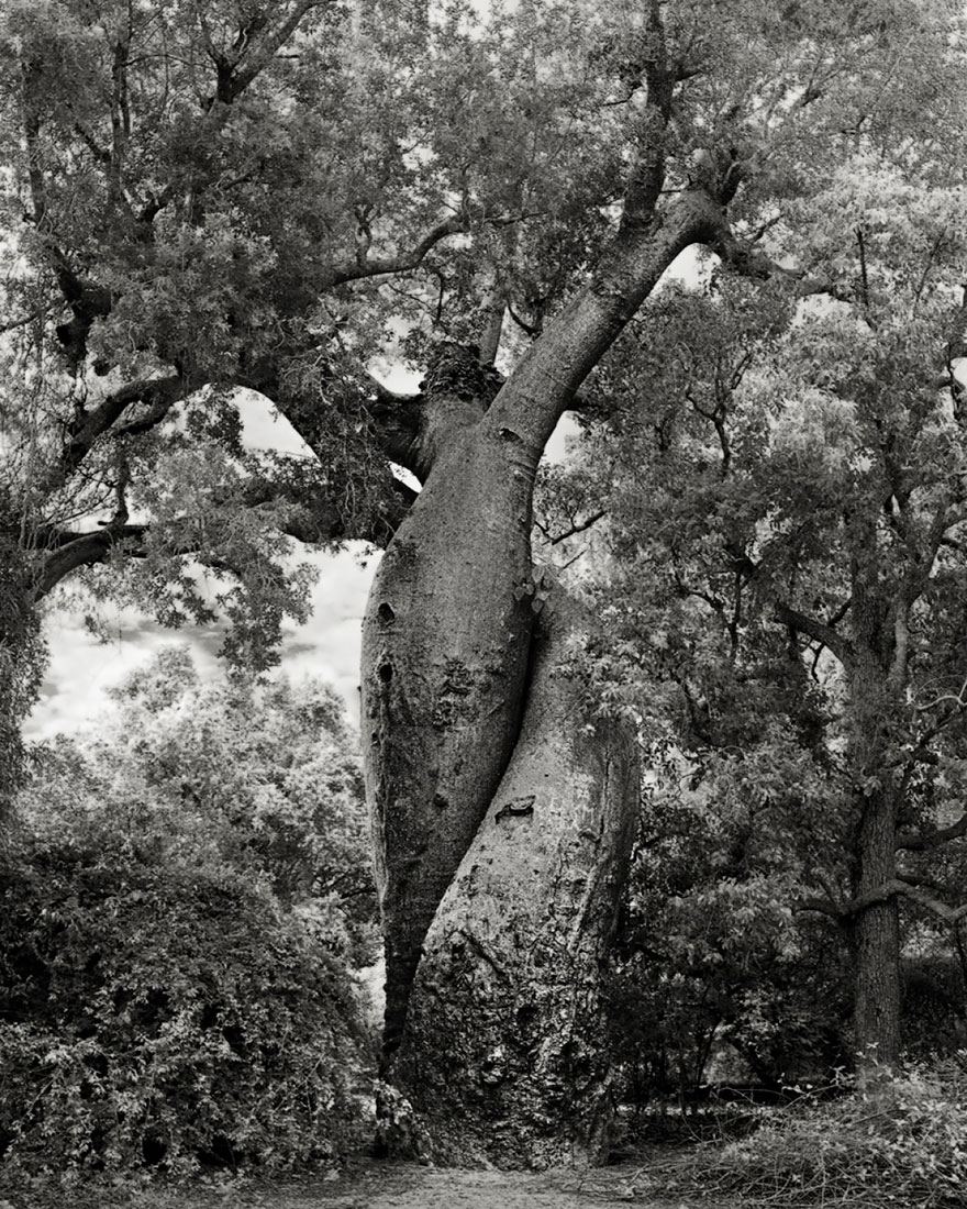 In tribute to the Oak Ancient-trees-beth-moon-20