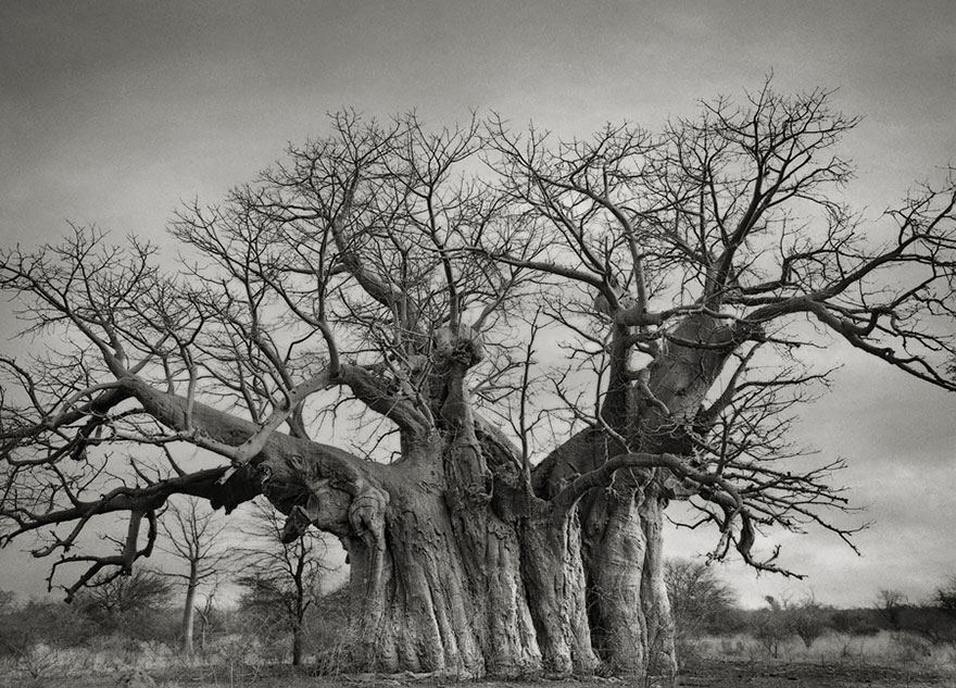 In tribute to the Oak Ancient-trees-beth-moon-3