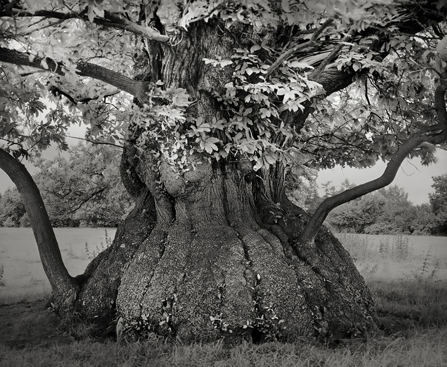 In tribute to the Oak Ancient-trees-beth-moon-4