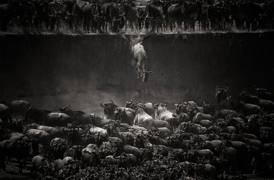 The Great Migration Of The Wildebeest Over The Mara River In Northern Serengeti