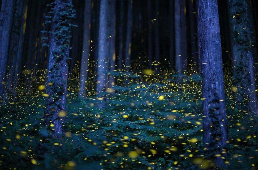 Fireflies In Japan