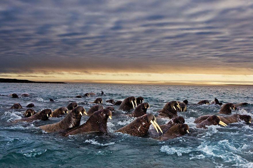 Walruses In Svalbard