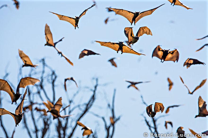 Fruit Bats in Zambia
