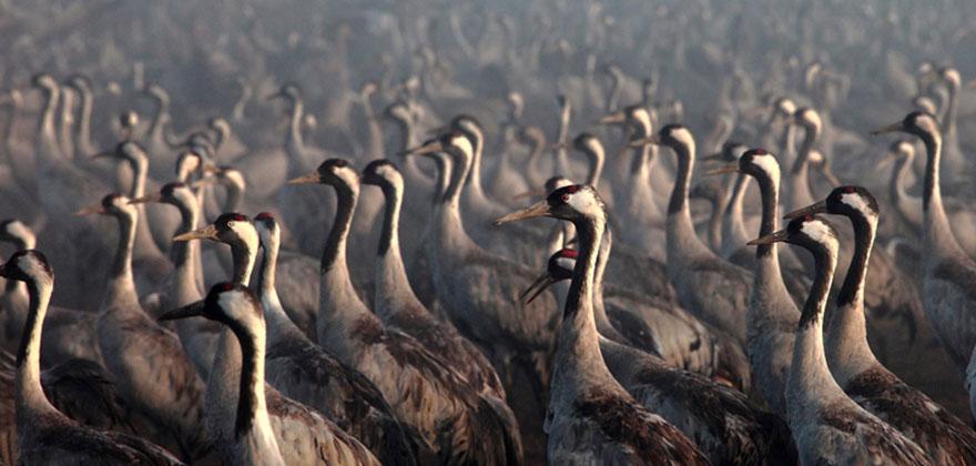 Red Crowned Cranes in Israel