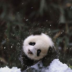 Baby Panda Bear In The Snow