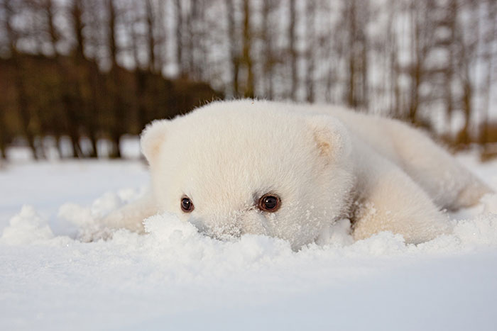This Baby Polar Bear Saw Snow For The First Time