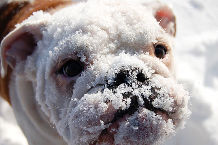 This English Bulldog Saw Snow For The First Time