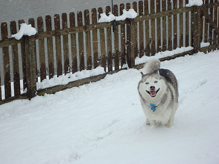8-Year-Old Siberian Husky Sees Snow For The First Time