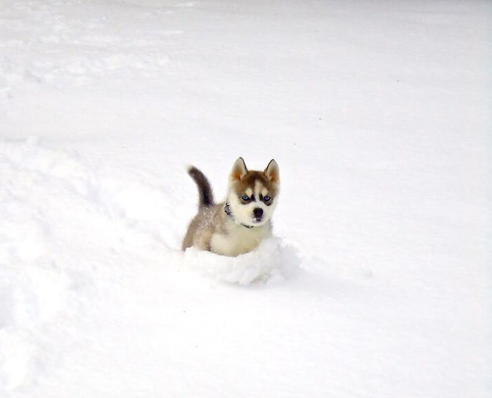 Husky Pup Playing In The Snow For The First Time