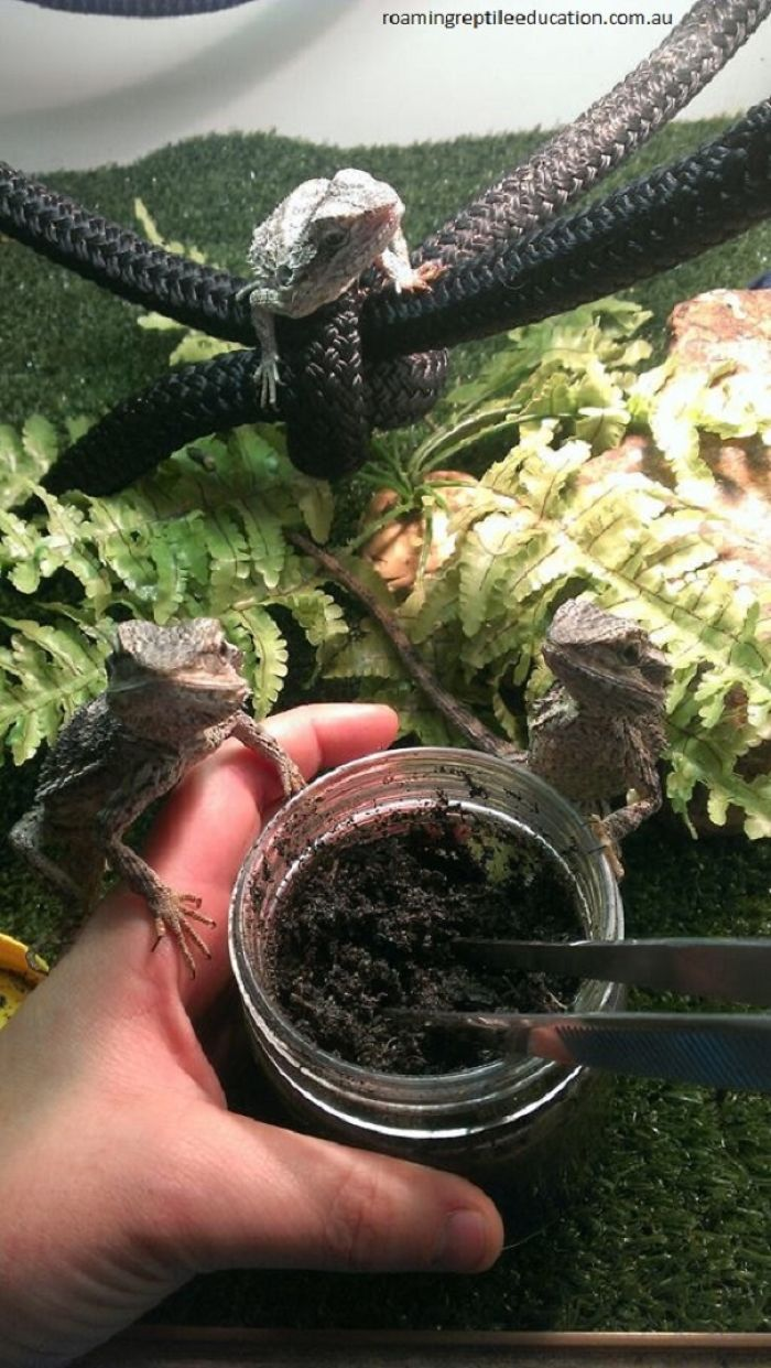 Bearded Dragons Know What Lives In The Jar – Food!
