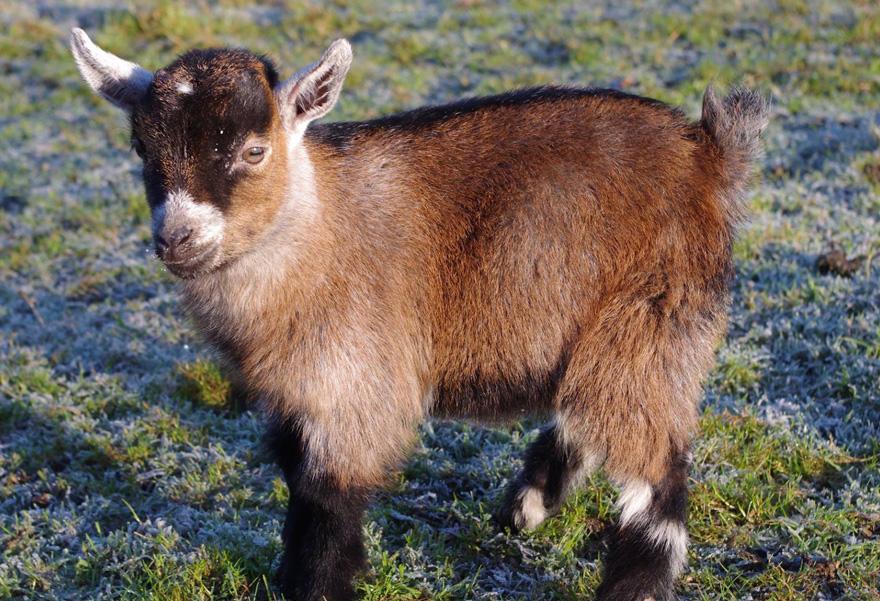 benjamin-orphaned-goat-follows-man-friend-12