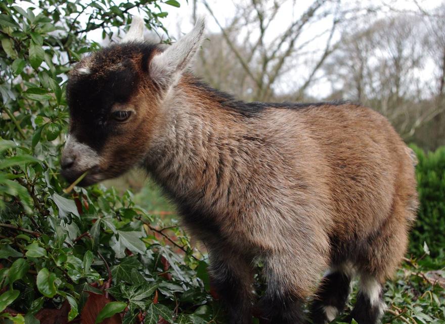benjamin-orphaned-goat-follows-man-friend-5