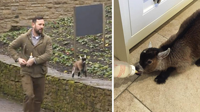 Baby Goat Rejected By His Mom Becomes Best Friends With A Human