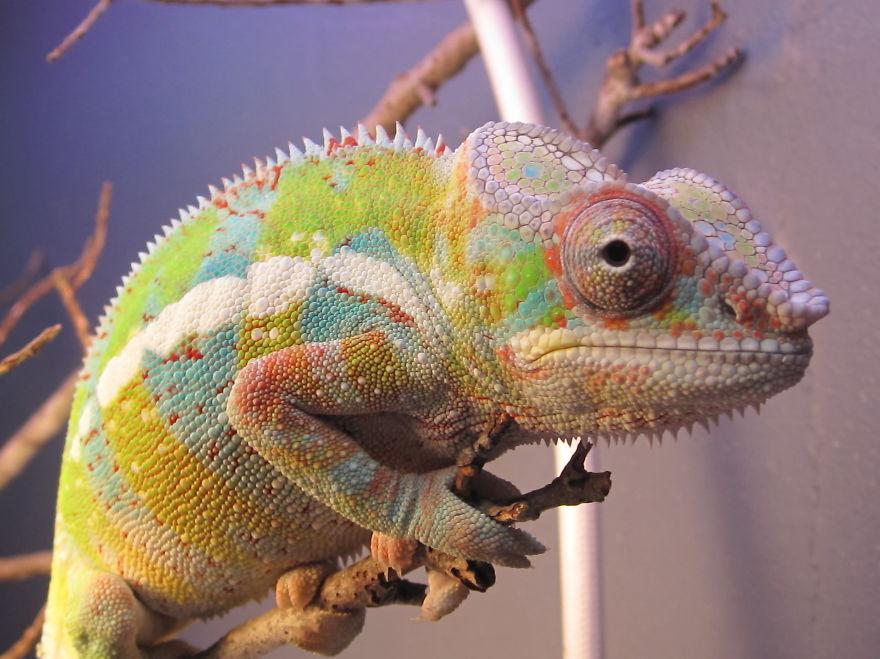 Fischers chameleon bored panda fischers chameleon thecheapjerseys Images