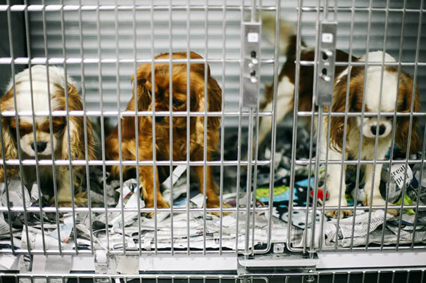 cavalier-king-charles-cocker-spaniel-rescue-puppy-mill-auction-13