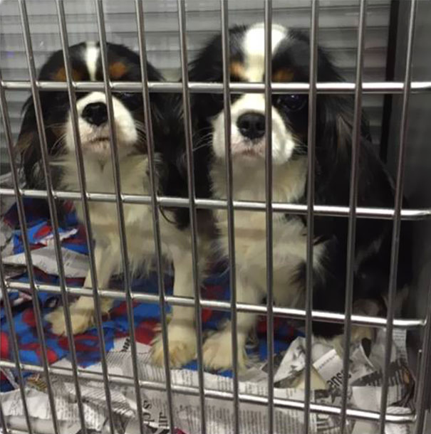 cavalier-king-charles-cocker-spaniel-rescue-puppy-mill-auction-16