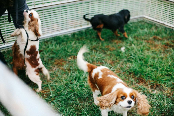 cavalier-king-charles-cocker-spaniel-rescue-puppy-mill-auction-2