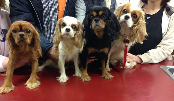 cavalier-king-charles-cocker-spaniel-rescue-puppy-mill-auction-22