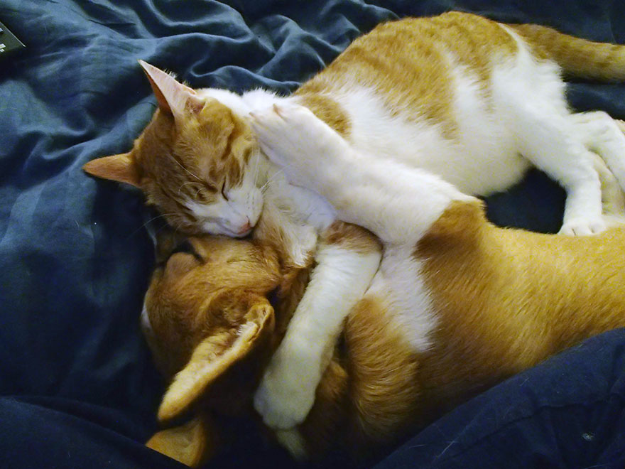 corgi-cat-friends-animal-friendship-love-10