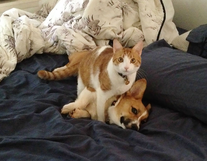 corgi-cat-friends-animal-friendship-love-5