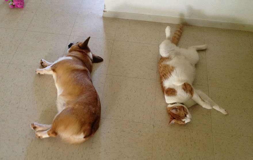 corgi-cat-friends-animal-friendship-love-9