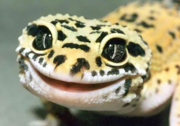 Adorable Leopard Gecko