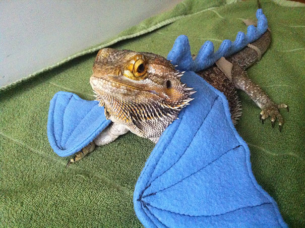 Bearded dragon lizard cute
