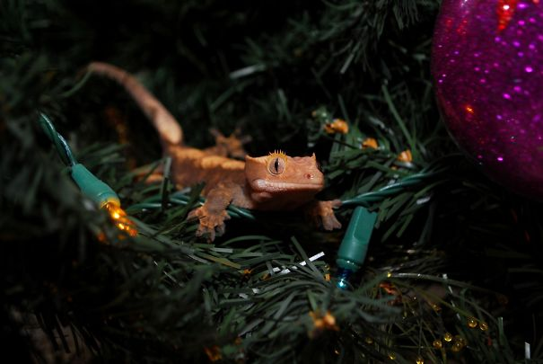Crested Gecko Exploring Christmas Tree