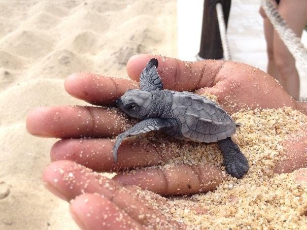 Newborn Sea Turtle