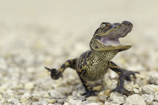 Happy Baby Alligator