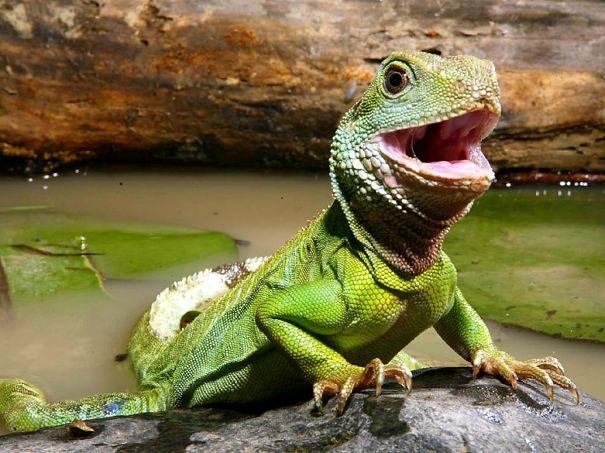Happy Baby Iguana After Bath