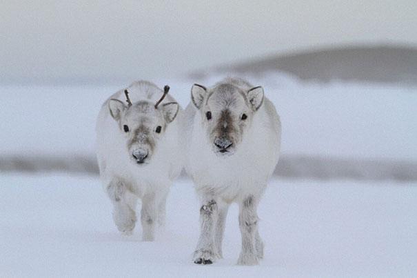 Baby Reindeers