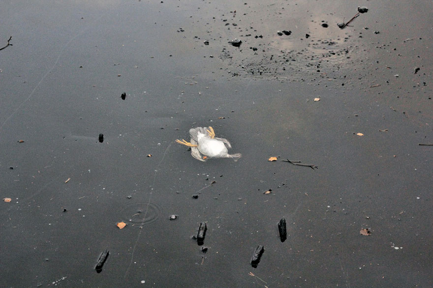 duck-rescue-frozen-lake-norway-10