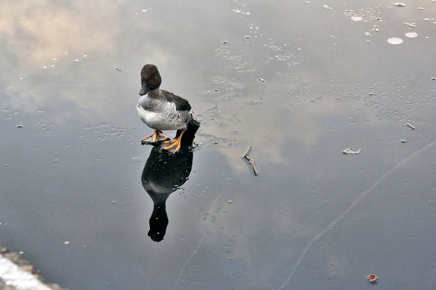 duck-rescue-frozen-lake-norway-9
