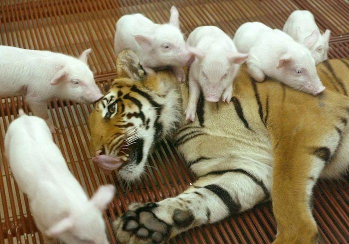 Tiger And Piggies