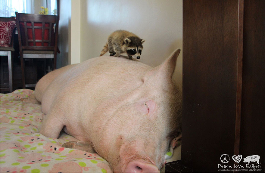 esther-wonder-pig-sanctuary-steve-derek-33