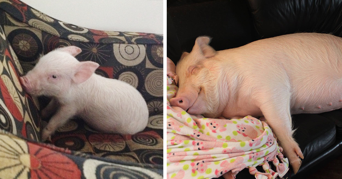 This Couple Thought They Adopted A Mini-Pig, But It Grew Up Into 670 Pounds Of Cuteness
