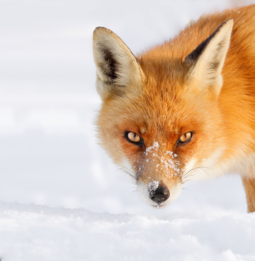 Bored Panda: 50 Shades Of White With A Touch Of Red: New Winter Foxes