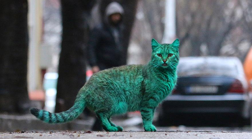 verde-cat-varna-Bulgária-8